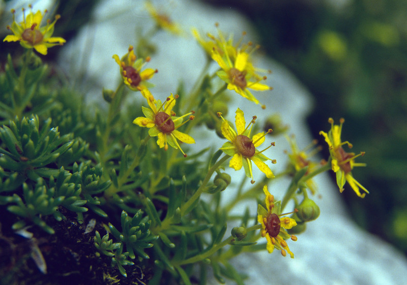 Saxifraga aizoides (alt.1200m)