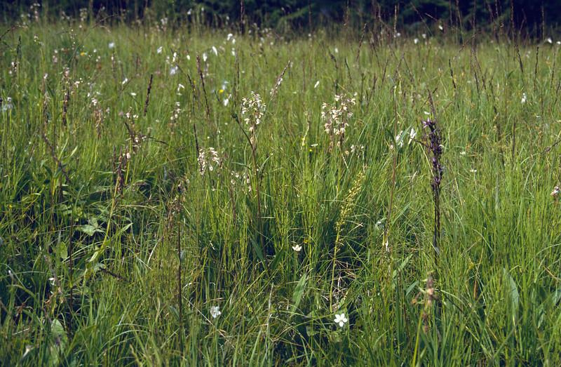 wet habitat with Swertia perennes, Listeria ovata and Epipactus palustris (boglands, Tannheimer Alps, Austria)
