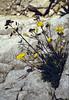 Biscutella laevigata ssp. laevigata