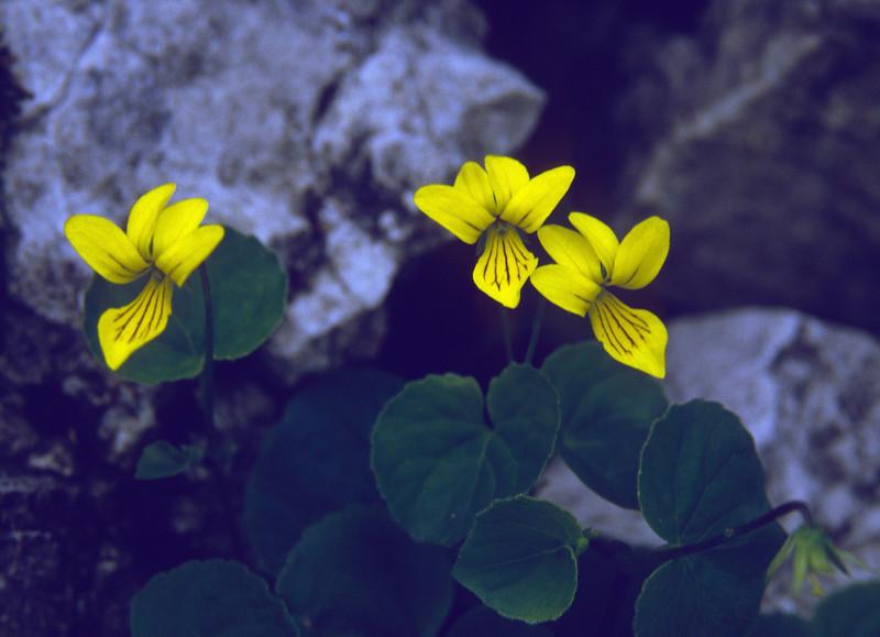Viola bifolia