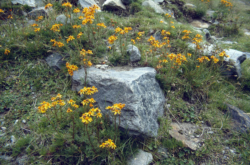 Habitat of Senecio abrotanifolius (Ötztaler Alps, Austria)