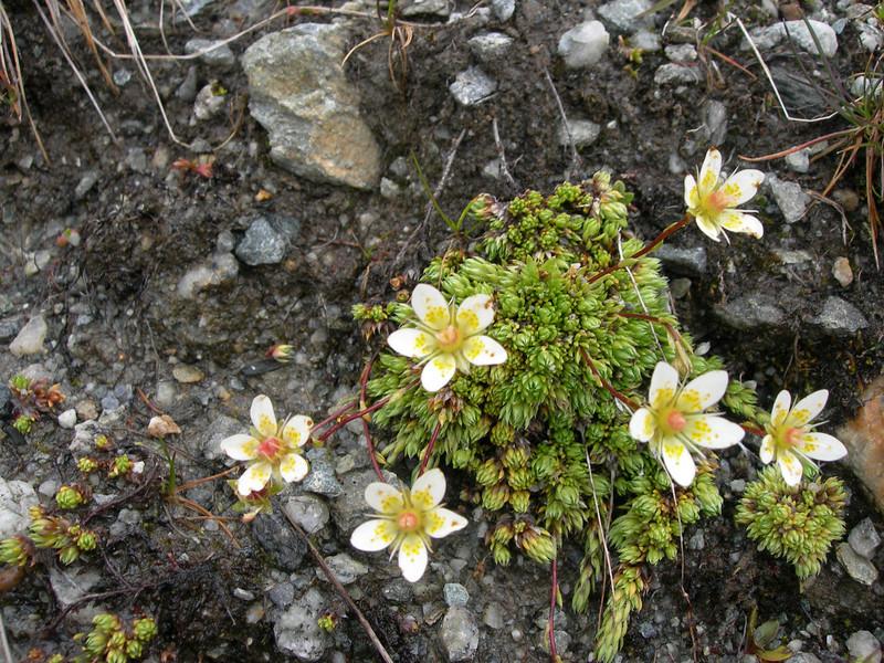 Saxifraga bryoides (3000m. near Konkordiahut)