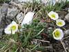 Ranunculus glacialis(?leaves?) (3000m. near Konkordiahut)