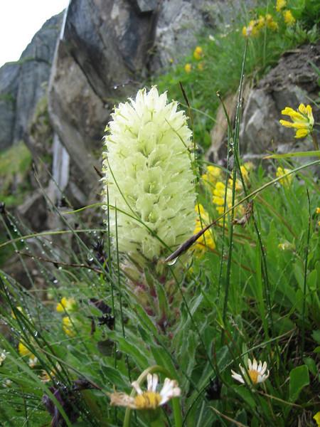 Campanula thyrsoides ssp. thyrsoides