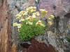 Saxifraga exarata subs.exarata (NL: mossteenbreek)