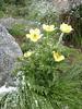 Pulsatilla alpina ssp. apiifolia (near Marjelasee 2400m)