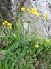habitat of Senecio doronicum ssp. doronicum (near Marjelasee 2400m.,