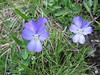 Viola calcarata ssp. calcarata