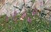 Orchis maculata (Berner Oberland, Alps, Schweiz)