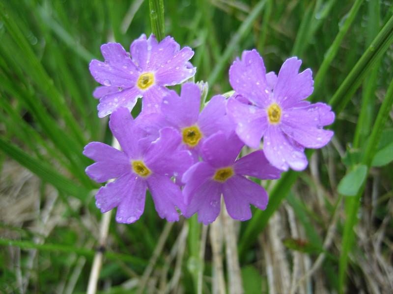 Primula farinosa (NL: melige sleutelbloem)