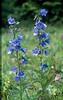 Campanula rhomboidalis (Berner Oberland, Alps, Schweiz)
