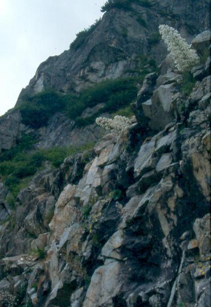 habitat of Saxifraga cotyledon (Berner Oberland, Alps, Schweiz)