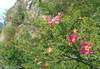 Rosa pendulina (Berner Oberland, Alps, Schweiz)