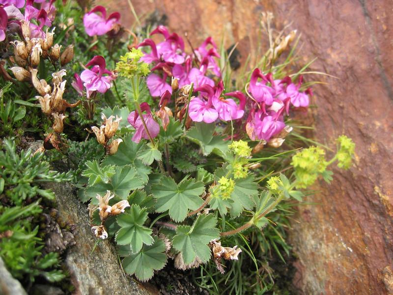 Pedicularis kerneri and Alchemilla alpina