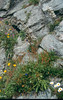 Habitat with Saxifraga cotyledon (Berner Oberland, Alps, Schweiz)