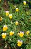 Viola tricolor ssp. subalpina