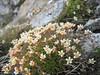 Saxifraga exarata subs.exarata (3000m. near Konkordiahut)