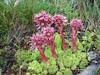 Sempervivum montanum ssp. montanum