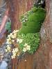 Silene acaulis and Saxifraga exarata subs.exarata