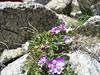 Primula hirsuta (near Marjelasee 2400m)
