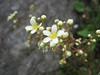 Saxifraga paniculata