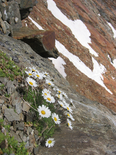 habitat of Leucanthemopsis alpina