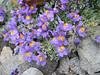 Linaria alpina