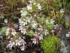 Euphrasia picta ssp. picta