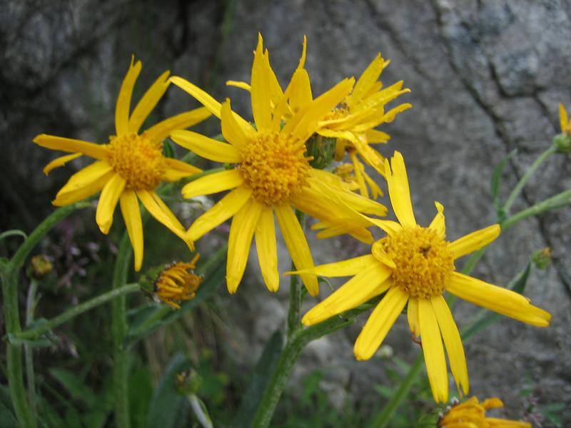 Senecio doronicum ssp. doronicum (NL: gemskruid)