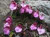 Pedicularis kerneri (near Marjelasee 2400m)