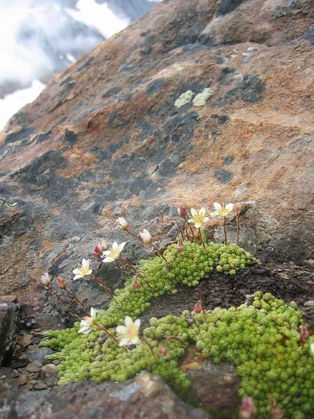 habitat of Saxifraga bryoides (Berner Oberland 2004 )