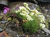 Saxifraga exarata subs.exarata and Pedicularis kerneri