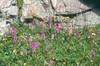 habitat with Orchis maculata, gevlekte orchis (Berner Oberland, Alps, Schweiz)