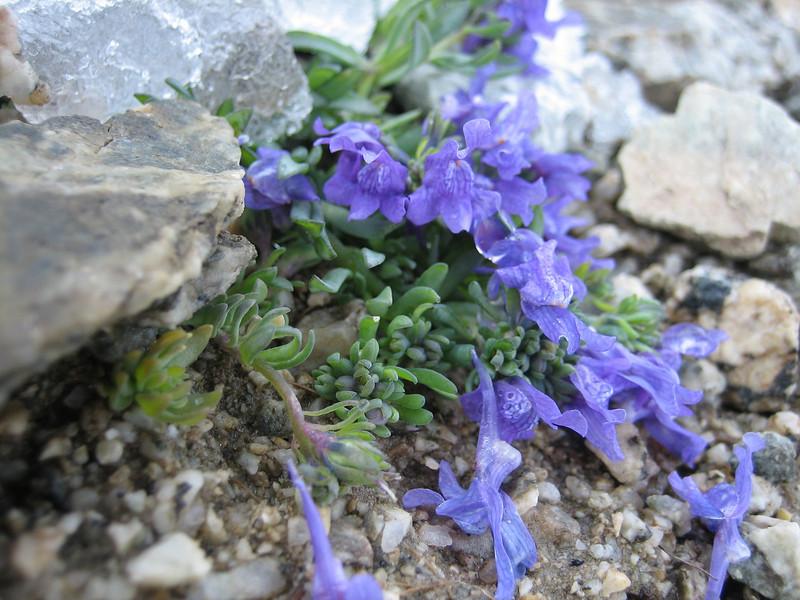 Linaria alpina ssp. alpina (3000m. near Konkordiahut)