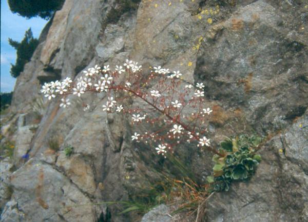 Saxifraga cotyledon (Berner Oberland, Alps, Schweiz)