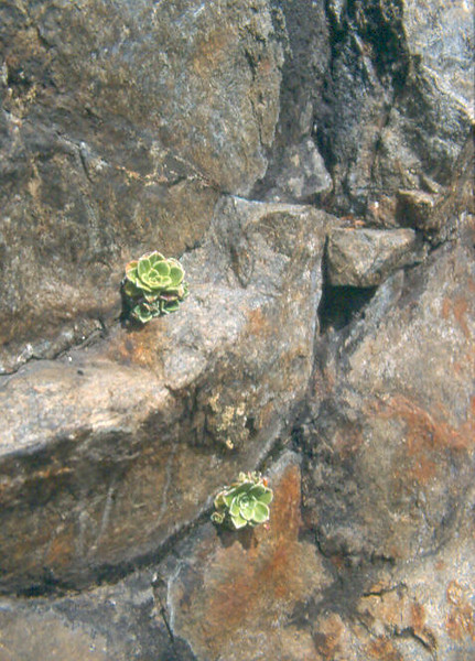 rosettes of Saxifraga cotyledon (Simplon pass CH-I, Berner Oberland, Alps, Schweiz)
