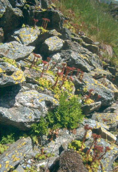 Sempervivum montanum and the fern: Cryptogramma crispa (Berner Oberland, Alps, Schweiz)