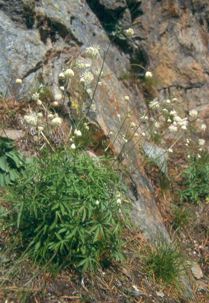 Astrantia minor (Berner Oberland, Alps, Schweiz)