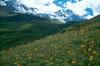 Habitat with Arnica montana (Berner Oberland, Alps, Schweiz)