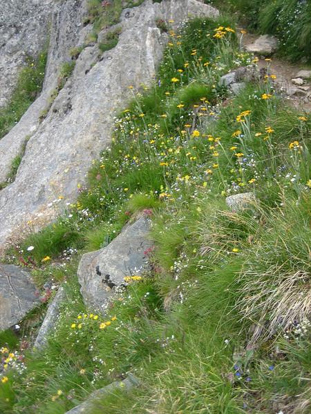 habitat of Senecio doronicum ssp. doronicum