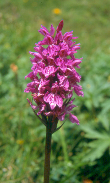 Orchis maculata, (NL: gevlekte orchis)