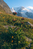 Gentiana purpurea (Berner Oberland, Alps, Schweiz)