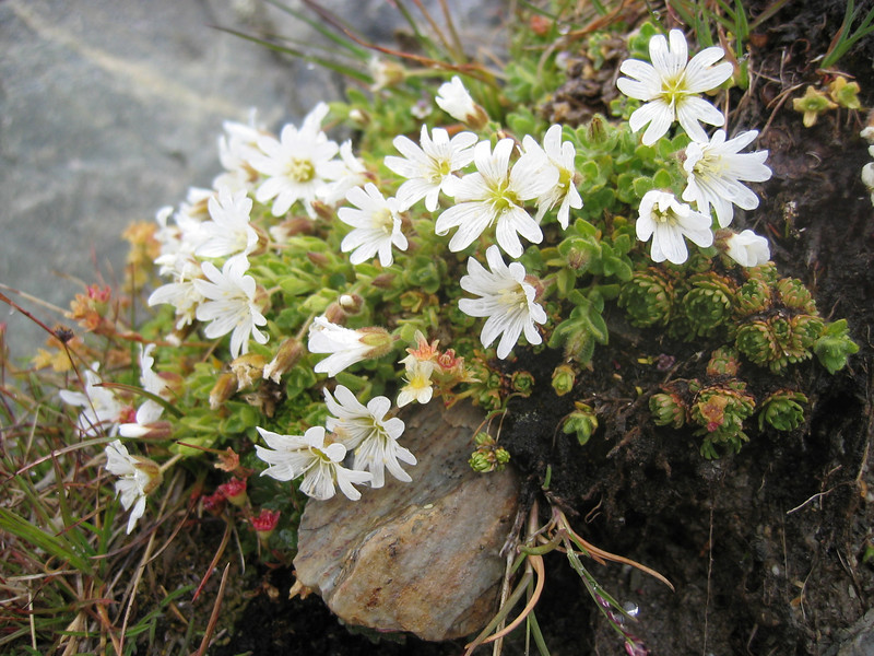 Cerastium uniflorum (NL: eenbloemige hoornkruid)(Aletschglacier)