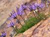 Pytheuma hemisphaericum