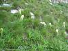 Campanula thyrsoides (Bernina pass ca.2100m)