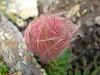 Seed of Geum reptans (Munt Pers 3207m)