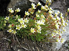 Saxifraga exarata ssp. exarata (Munt Pers 3207m)