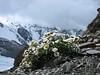 Ranunculus glacialis, (Munt Pers 3207m)