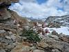 Ranunculus glacialis (Munt Pers 3207m)