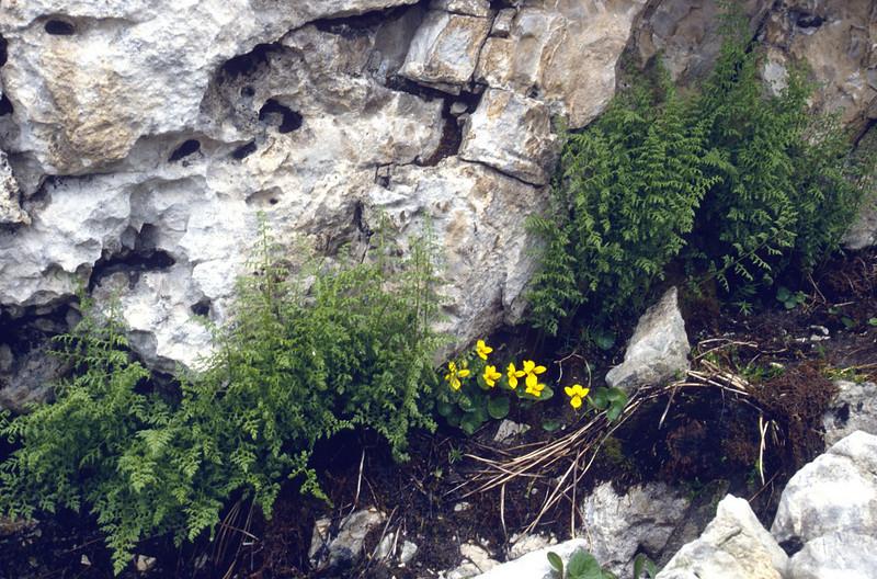 Viola biflora and the fern: Cryptogramma crispa